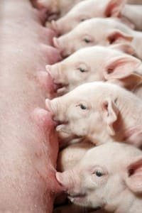 The piglets are suckling sows